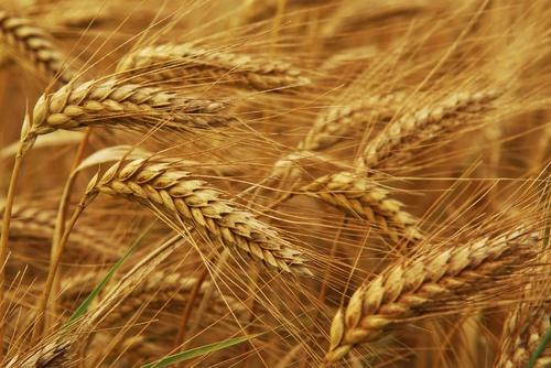 Billedresultat for grain